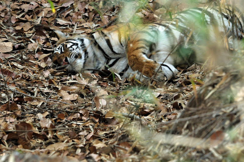 Sure enough, we found a sleeping tiger. She was resting near a kill she'd made the day before.  What a difference it was to see a tiger this way (crowds, lines, rushing), versus seeing one as we had the night before.