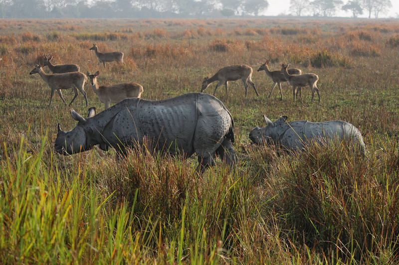 Kaziranga is famous as the largest sanctuary in the world for the few remaining One Horned Rhinoceros.  As with the tigers, these animals have been nearly poached off the planet.  Also as with the tigers, it's for their parts, primarily their horns, and the customers are mostly from China.
