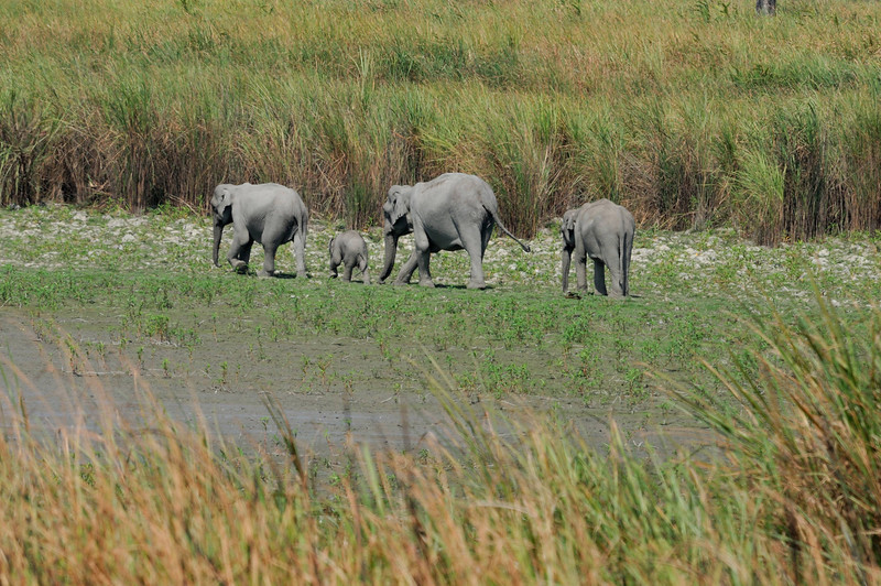 Wild elephants heading for the watering hole.