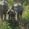 We encountered these 2 females and calf as we were were driving down a narrow road.  The elephants were getting ready to cross the road to get to the river.  We all stopped.