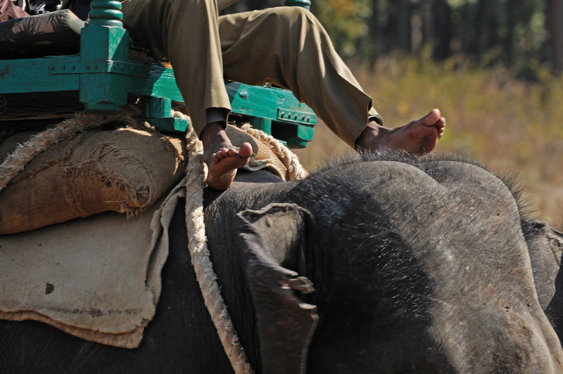 The mahout drives his elephant with his feet, controlling both speed and direction with taps on the elephant's neck.