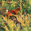 Red Jungle fowl.