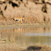 It was nearing sunset and in the distance we heard spotted deer calling, then monkeys calling, then everyone calling.  The deer and monkeys hang out together for mutual protection. We raced off and found this tiger heading to the watering hole.