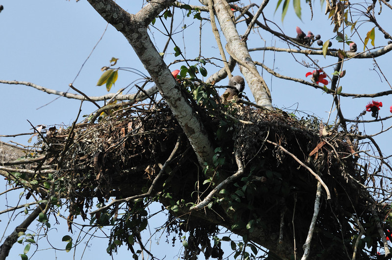 Grey-headed fish eagle chick.  That's a BIG nest.