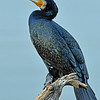 Indian Cormorant in breeding plummage