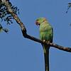Male Alexandrine parakeet.