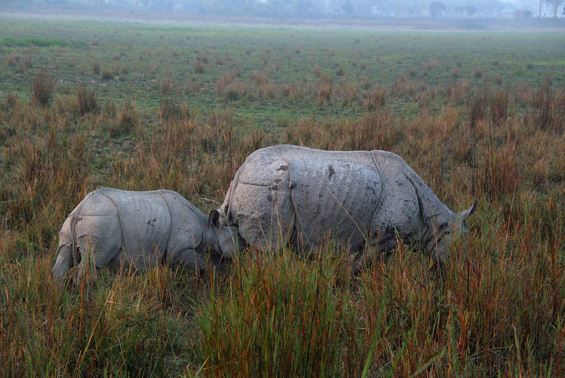 Rhinos nurse from behind, so the baby follows its mom around trying to grab hold.