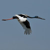 Black-necked stork.