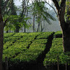 Assam is famous for its tea.  This is a tea plantation.