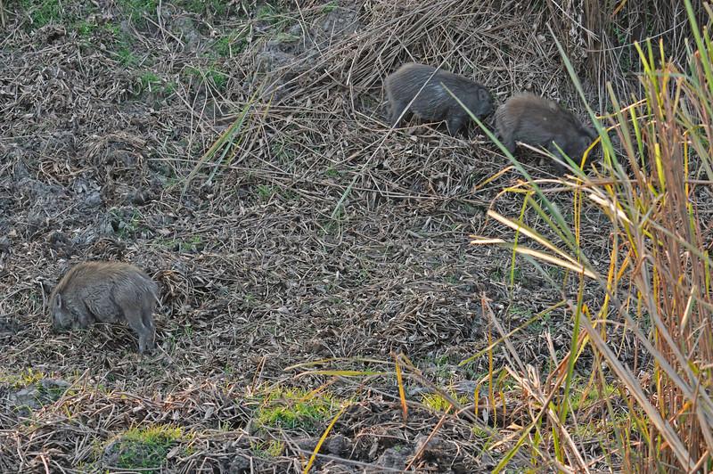 Wild boar piglets.