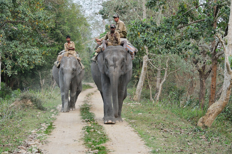 The day after we left Kaziranga, the elephant rides were shut down for a week so the elephants could help with the park census.  These mahouts and elephants are heading to the far side of the park to start counting animals in the morning.