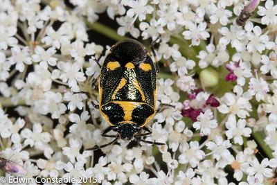 Brassica bug