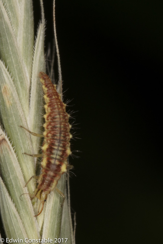 IMAGE: https://photos.smugmug.com/Nature-and-Wildlife/Insects/Unknown-larva/i-nH278QQ/0/1e145a9b/X2/1K0A1112-X2.jpg