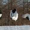 """3-shot composite of the same bird """"dancing"""" for his mate."""