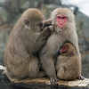 Mutual grooming is the name of the game in macaque society.  All individuals participate in this activity, from the tiniest infants to the leader of the pack.  It's a useful cleaning service that also reinforces individual bonds and confirms the troop hierarchy.