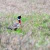 Pheasant.