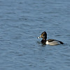 Adult breeding ring-necked duck (according to Joan's comment)