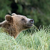 Because of the lack of fish, bears were forced to forage on their favorite grasses in close proximity to each other.  This one smelled another bear.