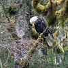 Bald eagles were nesting very close to the lodge.