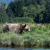 The bears were here (this was our first sighting and she had 2 cubs), but they were forced to feed on grasses and mussels until the salmon showed up, which we're told did eventually happen, but not in the numbers of prior years.