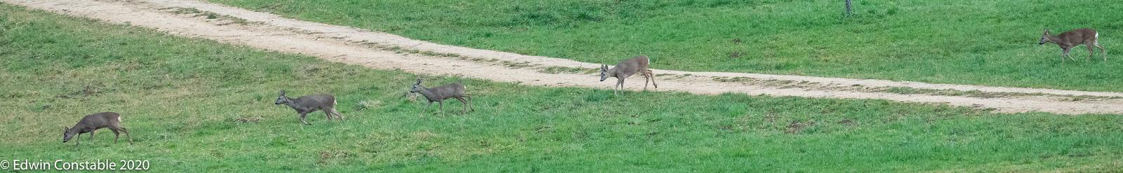 IMAGE: https://photos.smugmug.com/Nature-and-Wildlife/Mammals/Capreolus-capreolus-Roe-deer/i-mf6XQNg/0/39425e47/X3/A9207142-X3.jpg