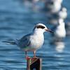 Migrating terns