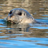 Testing new camera equipment on this solo kayaking outing.  <br /> Harbor seal.  (Video test is the last entry in the gallery)