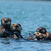 Two otter moms with their pups.