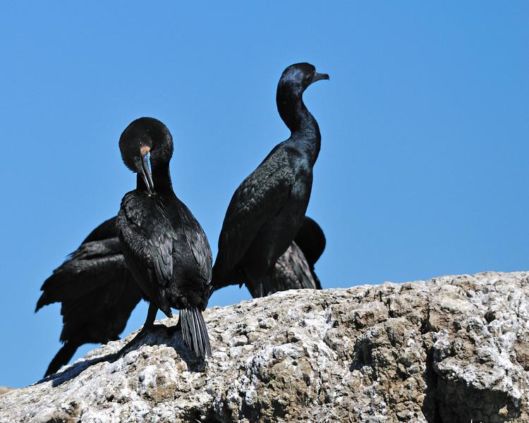 Brandt's Cormorants.