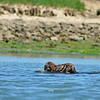 Spring is just wonderful. This is the first sea otter pup we saw.  He's riding on his mom's belly.  Sea otters stay with their moms for about 8 months before striking out on their own.