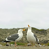 It was spring and love was in the air.  This pair of gulls performed a courtship dance before mating.  (3-shot composite)