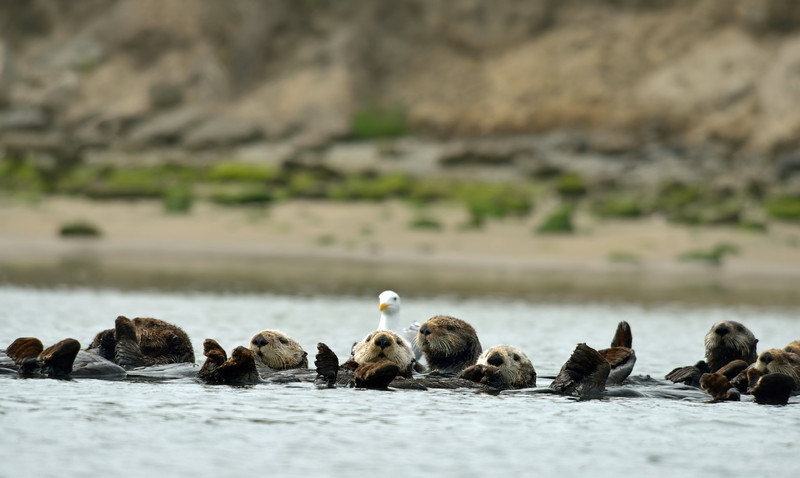 "A ""raft"" of male otters resting between feedings."