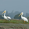Pair of white pelicans.  They're about 1/3 larger than brown pelicans.