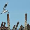 An Arctic tern (I think)