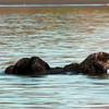 (Video) Sea otters have the thickest fur of all mammals. Their fur consists of  two layers - an undercoat with long guard hairs on top. These two layers trap air which heats and thus keeps otter bodies warm. Otters spend hours each day grooming their fur to maintain its air trapping capabilities.