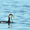 This young grebe fought with the green eel? worm? kelp? for quite a few minutes before devouring it.