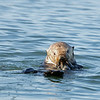 An older otter with a clam.  The buffet in Elkhorn Slough gets refreshed twice a day with the tides.