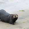 June 18.  Sheri, Janice and I drove to Moss Landing in June to meet Penny for a 2-day adventure.  Our first stop in late afternoon was at Jetty Road opposite the boat dock in Moss Landing.  Otters were hitting the beach to rest.