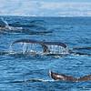 3-shot composite of a humpback diving