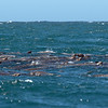 Sea lions are in heaven right about now.  They follow the whales and feed on the fish the whales drive to the surface.