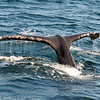 The whales didn't do any deep diving, but they did show their tails.  Humpbacks are slow swimmers, which gives barnacles a chance to attach themselves for a free ride through life. One way to approximate the age of a whale is to observe the number of barnacles on its body.  Barnacle patterns are also used to identify individual whales.
