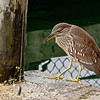 Juvenile night heron.