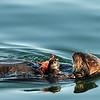 A sea otter feeding near the jetty.