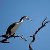 Australian Pied Cormorant (Shag)