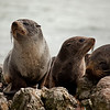 New Zealand Fur Seal pups