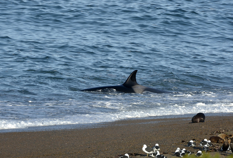 Turns out, I was lucky to be without a permit because this was the best orca action of the day (of the season, actually).  These same 3 orcas eventually swam by the attack beach, but they didn't stop and quickly disappeared from sight.