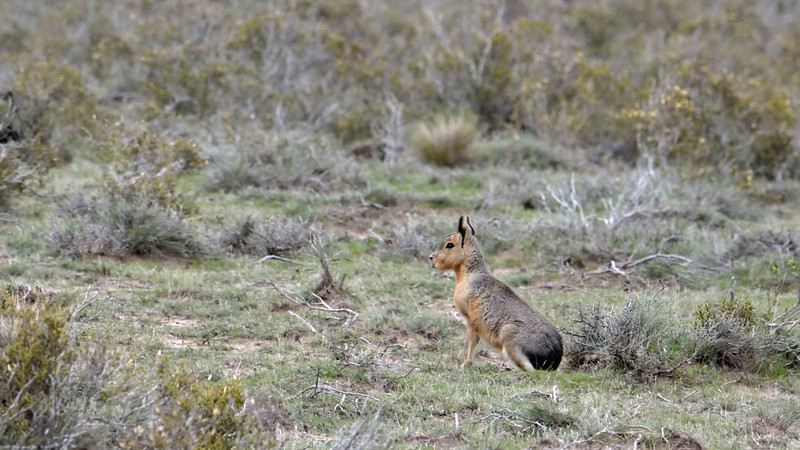 """Wildlife sightings were sparse that day.  We saw a few guanacos along the way and this fella, a Patagonian hare, a.k.a. """"mara"""", a.k.a. Patagonian cavy.  This is one big bunny.  The largest are up to 30 inches long."""