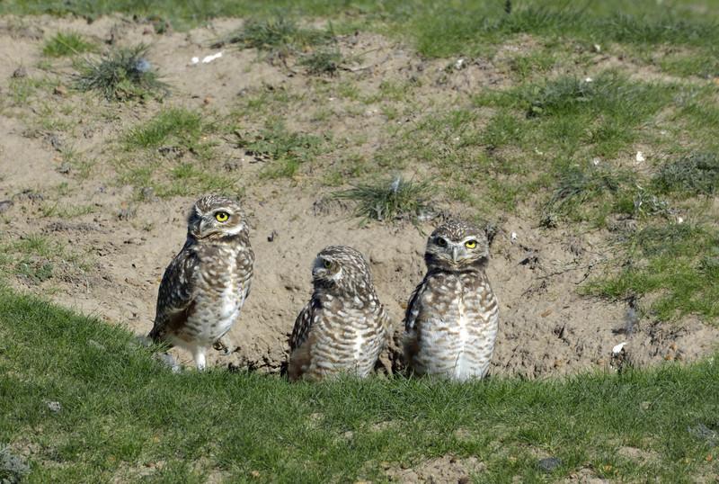 Juvenile burrowing owls.