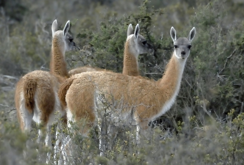 Guanacos.  These animals are members of the camelid family,  which consists of llamas, camels, vicunas and alpaca. Guanacos are one of the largest wild mammal species found in South America, along with manatees, tapirs, and jaguar. Their only natural predator is the puma (mountain lion).  However, humans have taken a huge toll on the guanaco population.  Even though guanacos and domesticated herd animals graze on different plants and plant parts, ranchers view guanacos as undesirable, which is really bad news for guanacos.