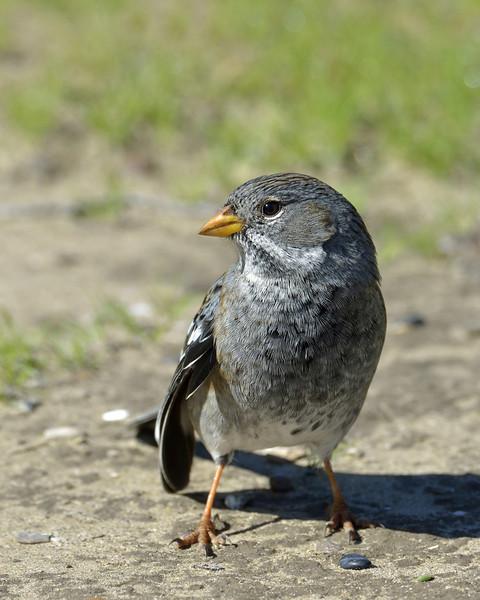 Another mockingbird